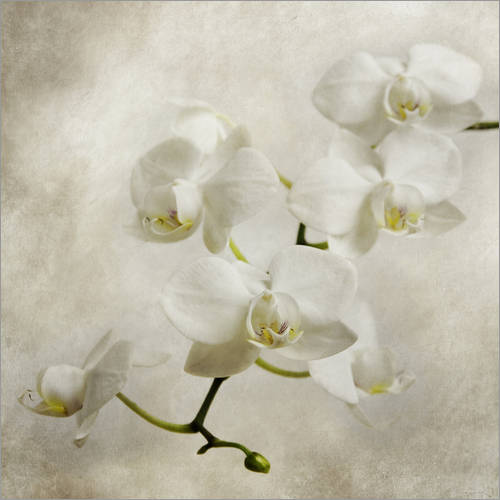 Wall sticker White orchid