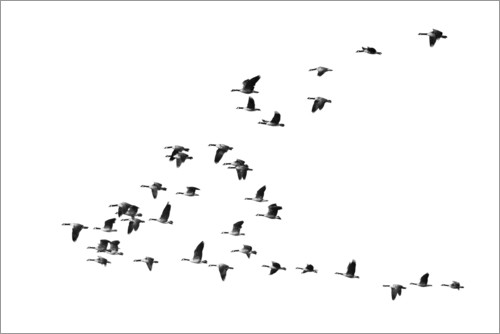 Premium poster Flight of the geese