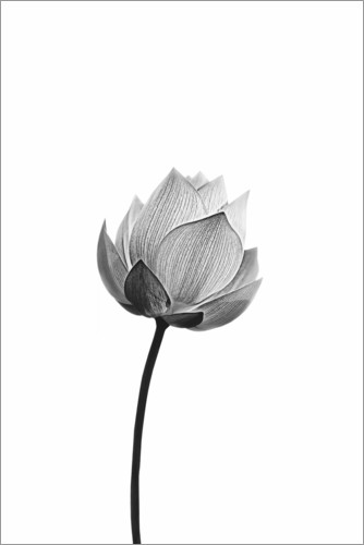 Premium poster Lonely Lotus