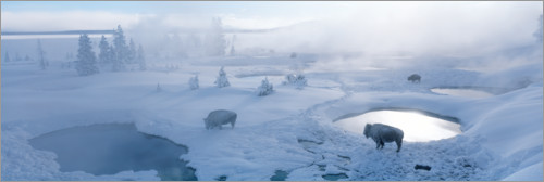 Premium poster Bisons and geysers in Yellowstone National Park, USA
