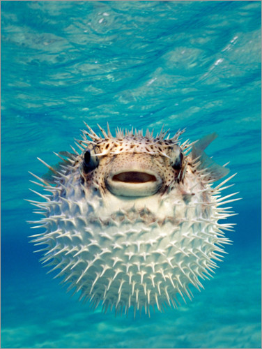 Premium poster Inflated puffer fish