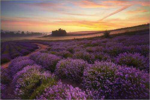 Premium poster Lavender field in the morning