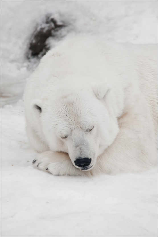 Premium poster Relaxed polar bear settled down to sleep