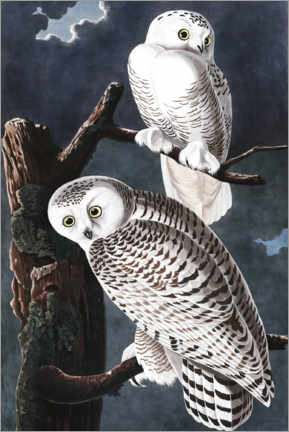 Canvas print  Snowy Owls - John James Audubon