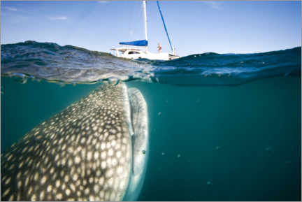 Aluminium print  Whale shark with a yacht - Christopher Swann