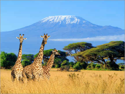 Canvas print  Three giraffes, Kilimanjaro