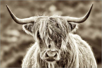 Premium poster  Face to face with the highland cattle - Angela to Roxel