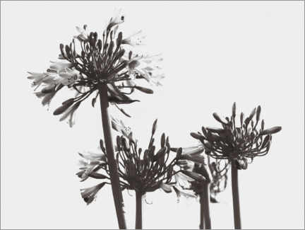 Wall sticker  Agapanthus - Magda Izzard