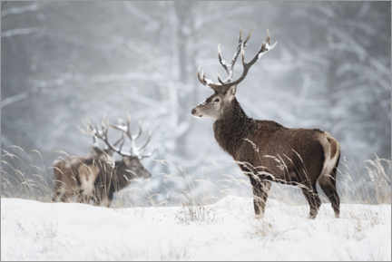 Canvas print  Deer in the snow - Moqui, Daniela Beyer