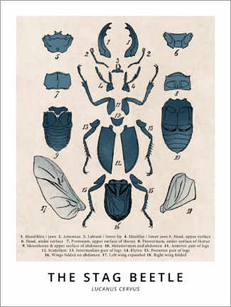 Premium poster  The Stag Beetle, Diagram (Vintage) - Wunderkammer Collection