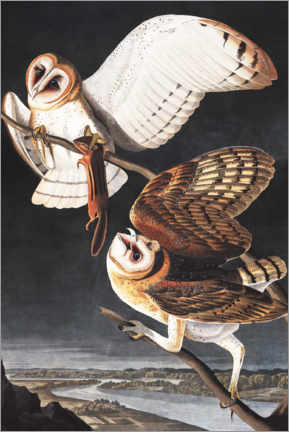Canvas print  Barn owl - John James Audubon