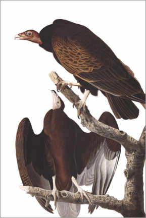 Premium poster  Two turkey vultures - John James Audubon