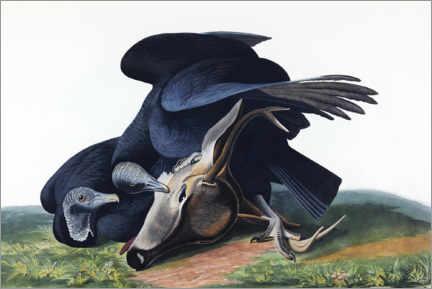 Premium poster  Black vulture - John James Audubon