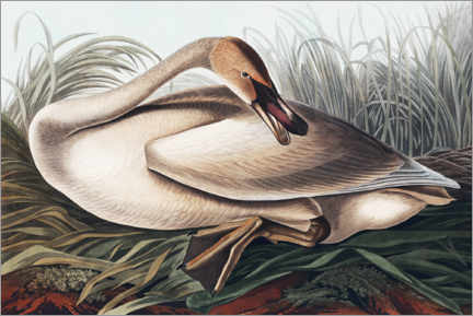 Premium poster  Trumpeter swan in the nest - John James Audubon