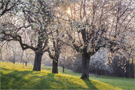 Acrylic print  Blossoming cherry trees in the light of the rising sun - The Wandering Soul