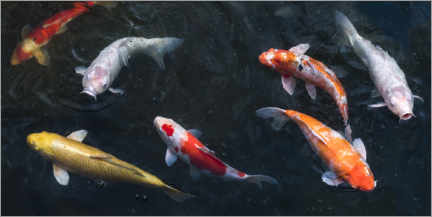 Aluminium print  Colorful koi carp in the pond - Jan Christopher Becke
