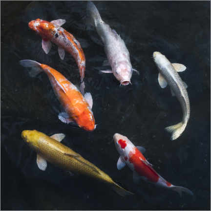 Foam board print  Colorful koi carp - Jan Christopher Becke