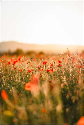 Premium poster Field of poppies in the sunrise