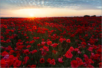 Premium poster Field of poppies at sunrise