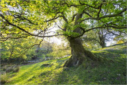 Aluminium print  Imposing tree in spring with sunlight in England - The Wandering Soul