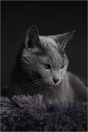 Premium poster Russian Blue Cat