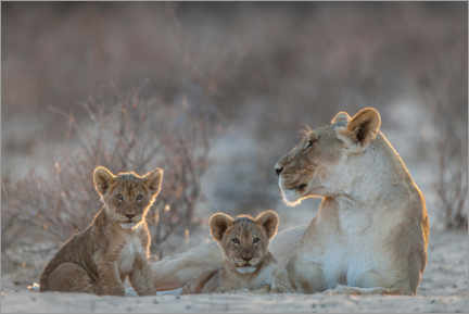 Premium poster  Lioness with two cubs - Matthias Graben