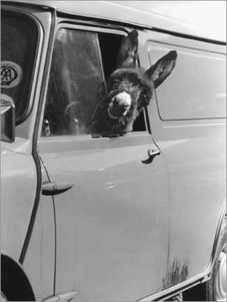 Canvas print  Donkey looks out the car window - John Drysdale