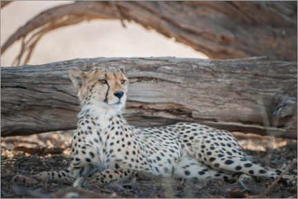 Canvas print  Cheetah rests in the shade