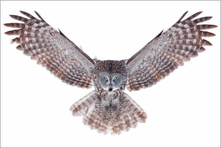 Premium poster  Great gray owl - Jim Cumming