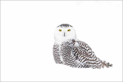 Premium poster  Snowy Owl in the winter snow - Jim Cumming