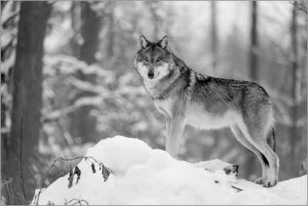 Acrylic print  She-wolf in the winter forest - Frank Sommariva