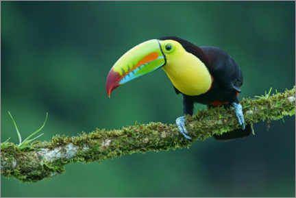 Premium poster  Fisher toucan on a mossy branch - Marko König