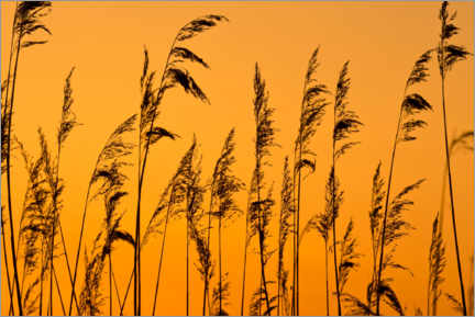 Premium poster Reed grass in the evening light
