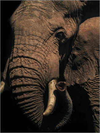 Wood print  Close up of an African elephant - Matthew Williams-Ellis
