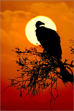 Premium poster  Silhouette of a vulture sitting on a tree