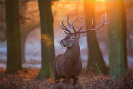 Premium poster Majestic Stag in the Frosty Morning Light