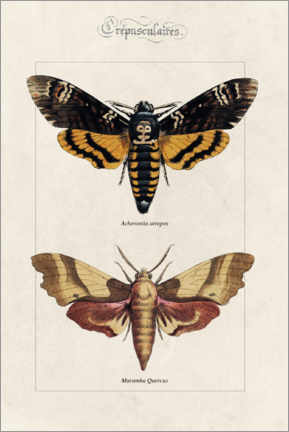 Canvas print  Death's Head hawkmoth and oak hawkmoth - Alexis Nicolas Noel
