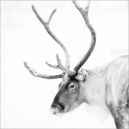 Canvas print  Reindeer in the Arctic - Matthew Williams-Ellis