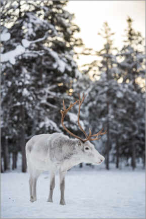 Premium poster  Reindeer at Sunset in the Winter Forest - Matthew Williams-Ellis