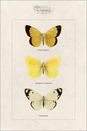 Acrylic print  Moorland clouded yellow, cleopatra and pale clouded yellow - Alexis Nicolas Noel