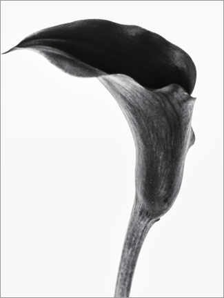 Canvas print  Black calla - Magda Izzard
