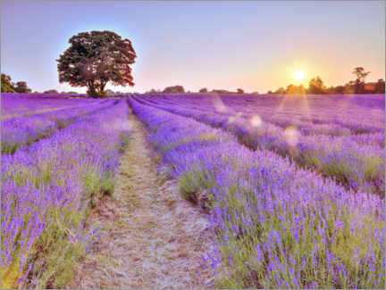 Canvas print  Lavender Sunset - Assaf Frank