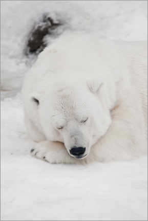Foam board print  Relaxed polar bear settled down to sleep - Mikhail Semenov