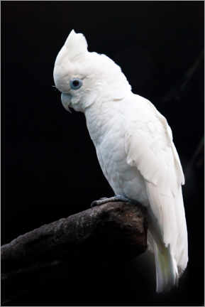 Premium poster  Beautiful white cockatoo - Mikhail Semenov