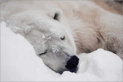 Premium poster Polar bear sleeping comfortably in the snow