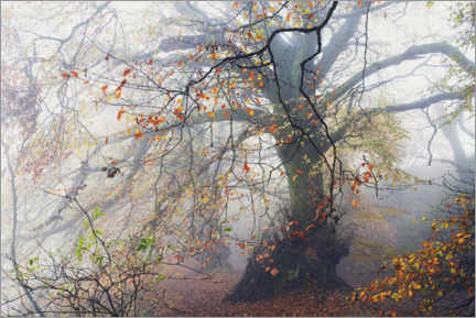 Gallery print  Big beech tree with autumn colors in the fog in England - The Wandering Soul