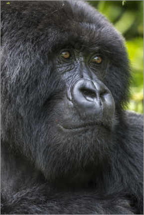 Premium poster  Mountain gorilla - Paul Souders