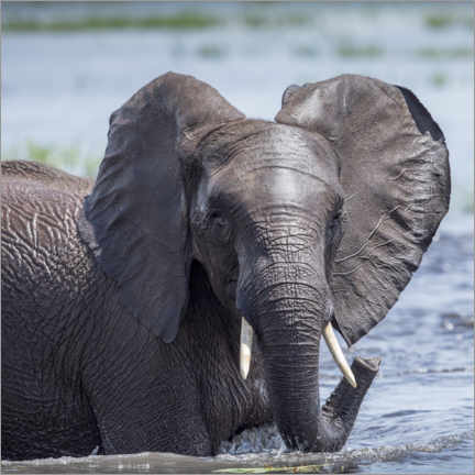 Premium poster Elephant in the water