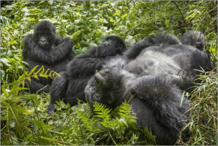 Acrylic print  Mountain gorillas resting in the rainforest - Paul Souders