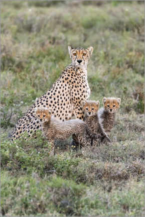 Canvas print  Cheetah mother with cubs - Jaynes Gallery
